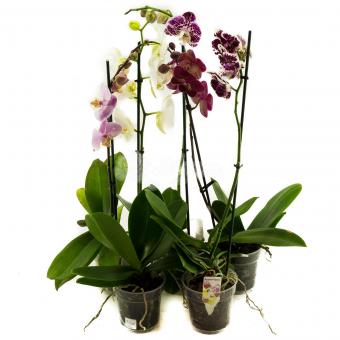 Орхидея Фаленопсис 1-2 ств