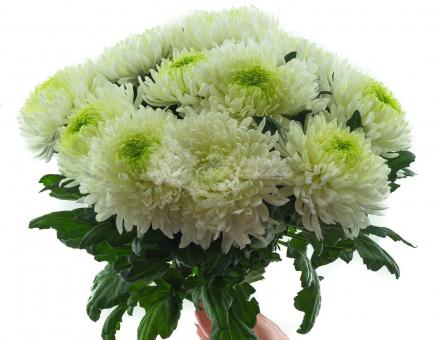Букет из 17 Крупноголовых хризантем